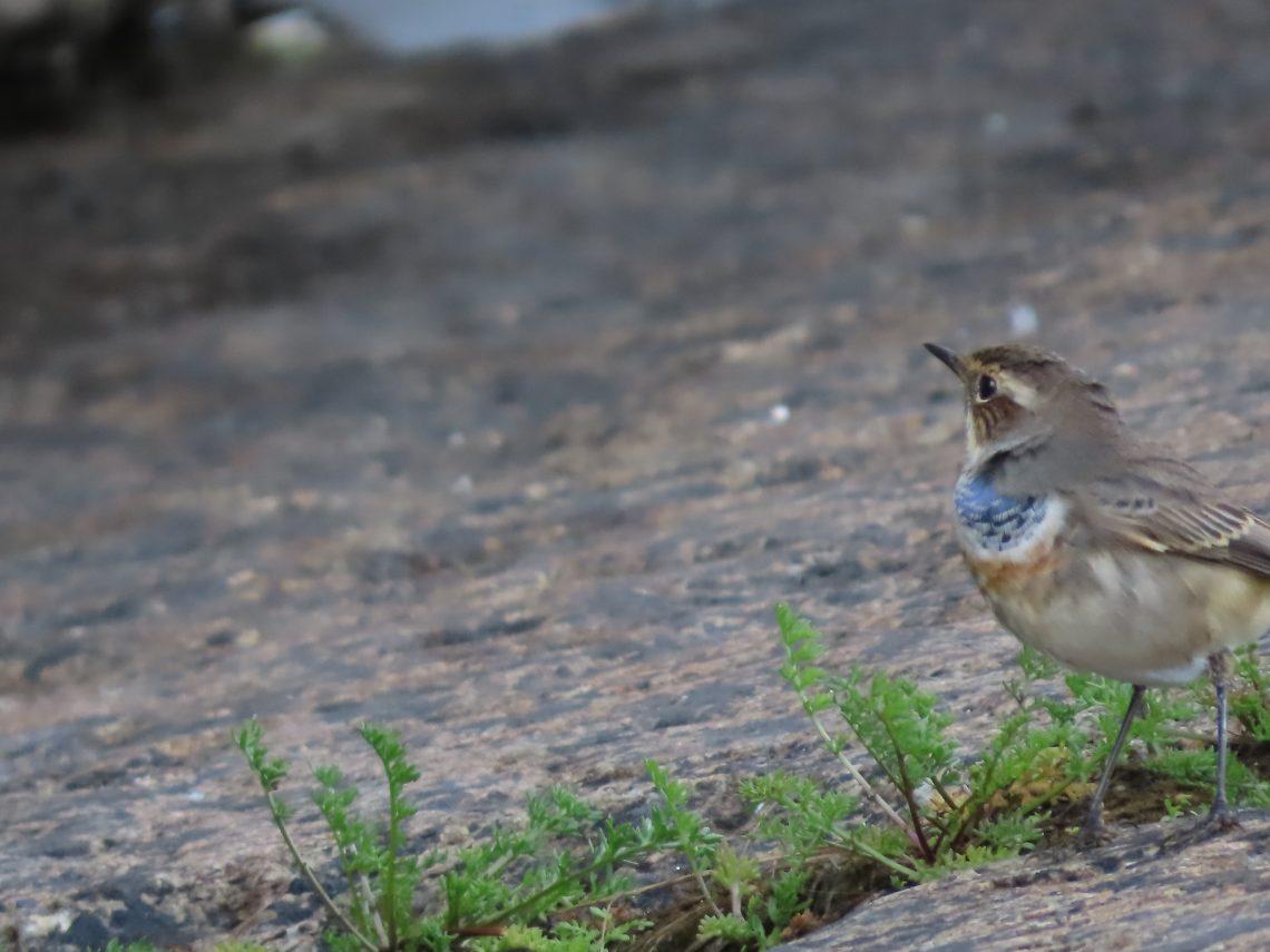 Pieni lintu nimeltään sinirinta