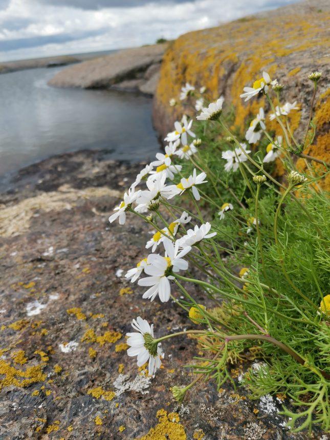 Kukkia kalliolla